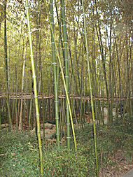 Bamboo - feng shui home consultations