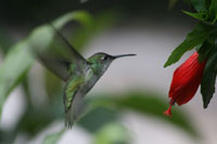 Hummingbird in Peru